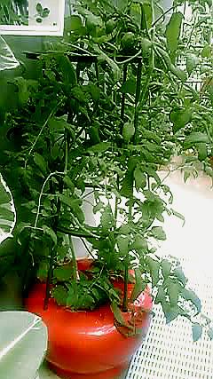 ホームハイポニカ601と植物